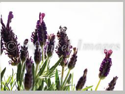 Lavender - print