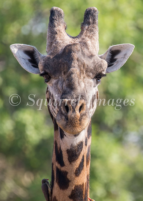 Giraffe - Greetings Card