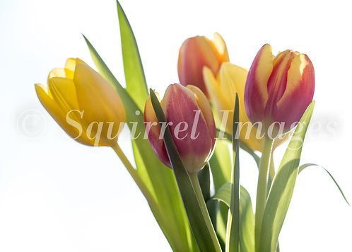 Tulips - Greetings Card