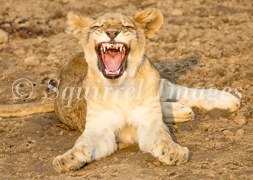 Laughing lion - Greetings Card