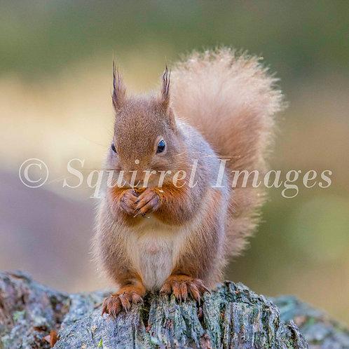 Red squirrel coaster 2