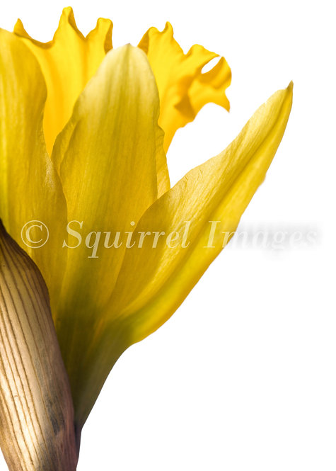 Daffodil - Greetings Card