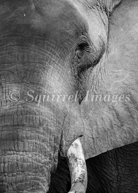 Elephant tusk - Greetings Card