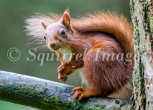 Red Squirrel - Greetings Card