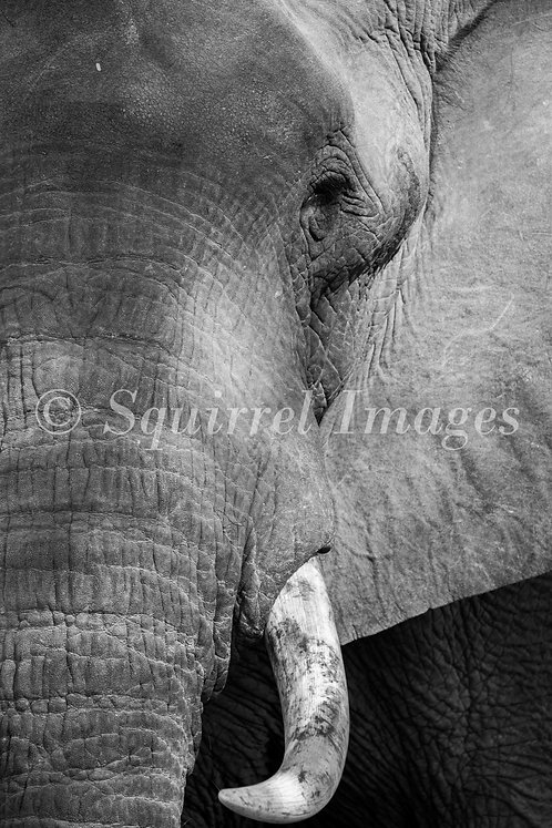 Elephant tusk - print