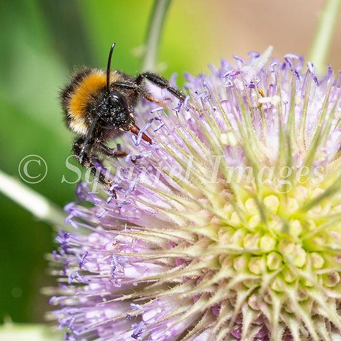 Bee on teasel coaster