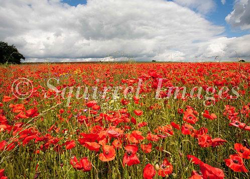 Poppy Field - Greetings Card