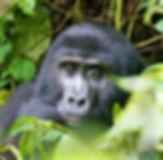 thumb_Mountain Gorilla_1024 2.jpg