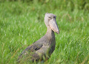 Shoebill%203_edited.jpg