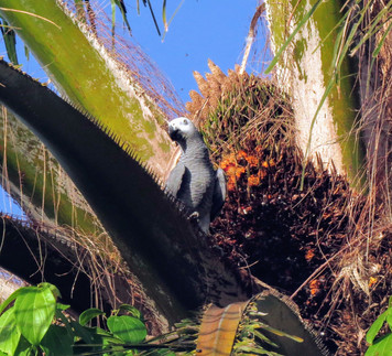 African Grey Parrot Tours and more