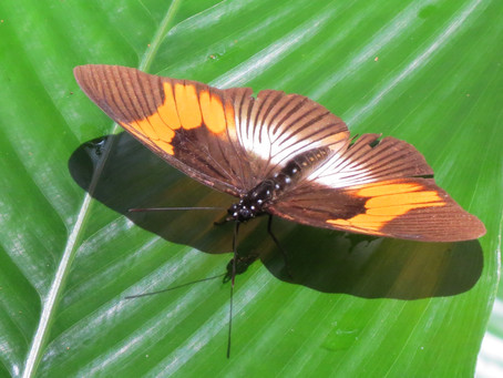 Butterflies and Insects Of Uganda