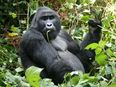 Discount on Gorilla trekking Fees.