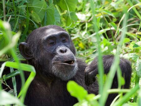 Reduction in Chimp Trekking Fees.