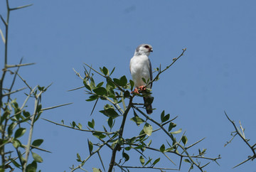 Special North Eastern Birds.A Pygmy Falcon stayed long enough for us to take a photograph.