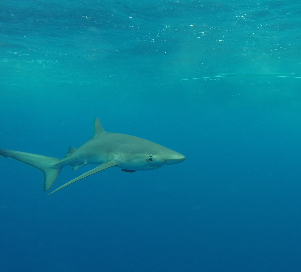 Blue shark Azores July 2014 (2).JPG