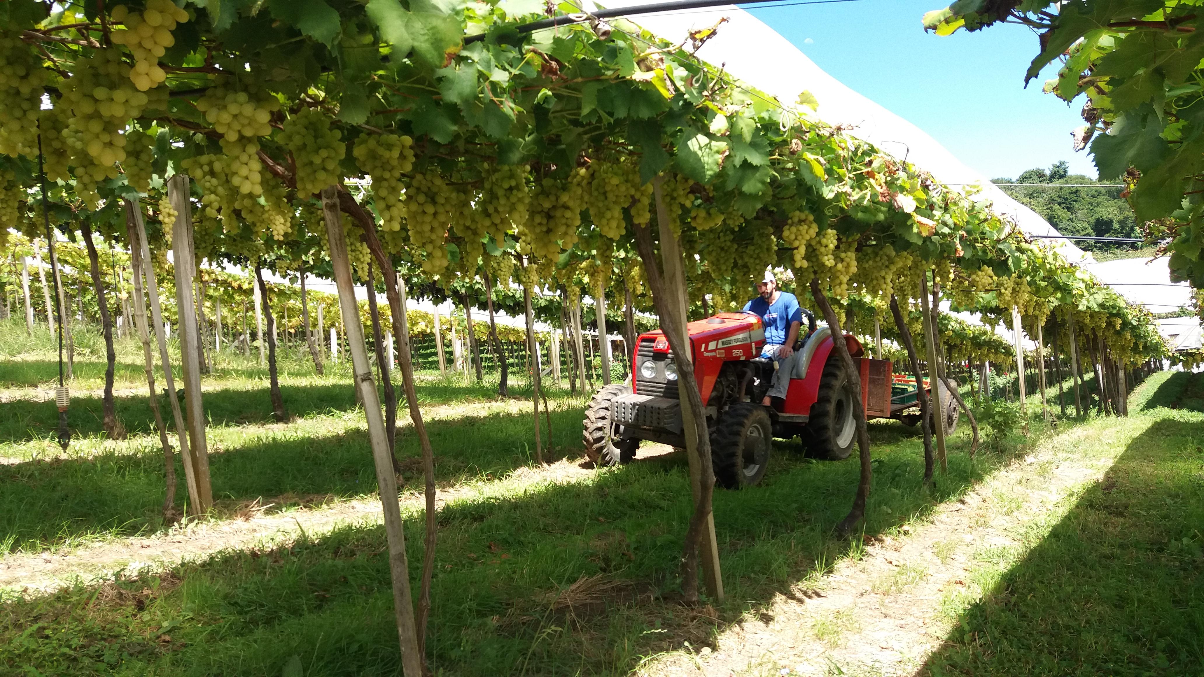 viticultura