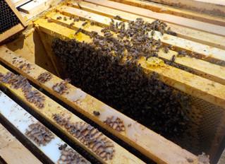 I am a beekeeper again!