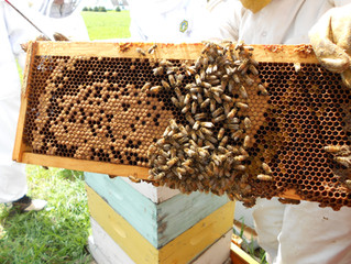 Opening the overwintered Hive