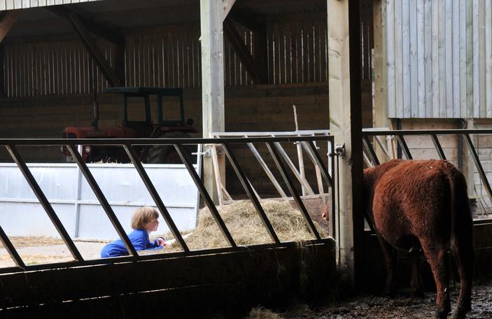 Cow vs boy