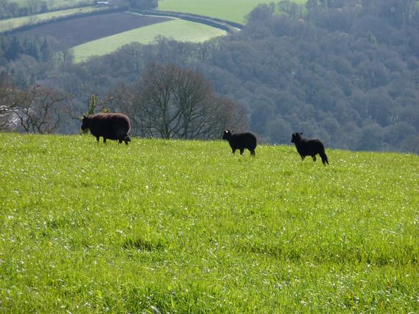 Black Welsh sheep