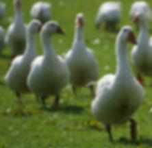 geese 2.jpg