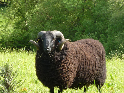 Organic Lamb