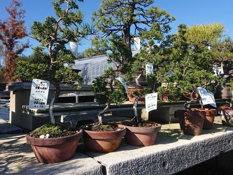 糸魚川真柏 2,000円