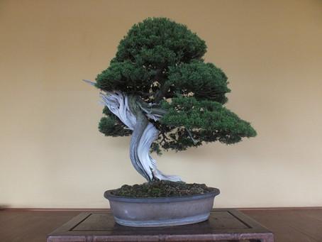 糸魚川真柏  第60回国風盆栽展出品樹