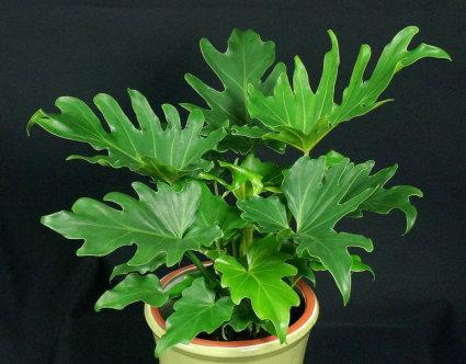 $50 House Plant