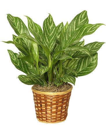 $75 House Plant
