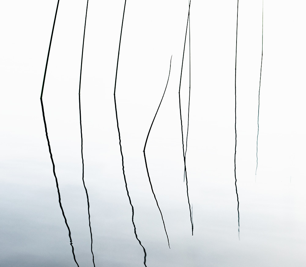 A minimalist composition of pencil reeds reflecting on a calm lake in Ontario.