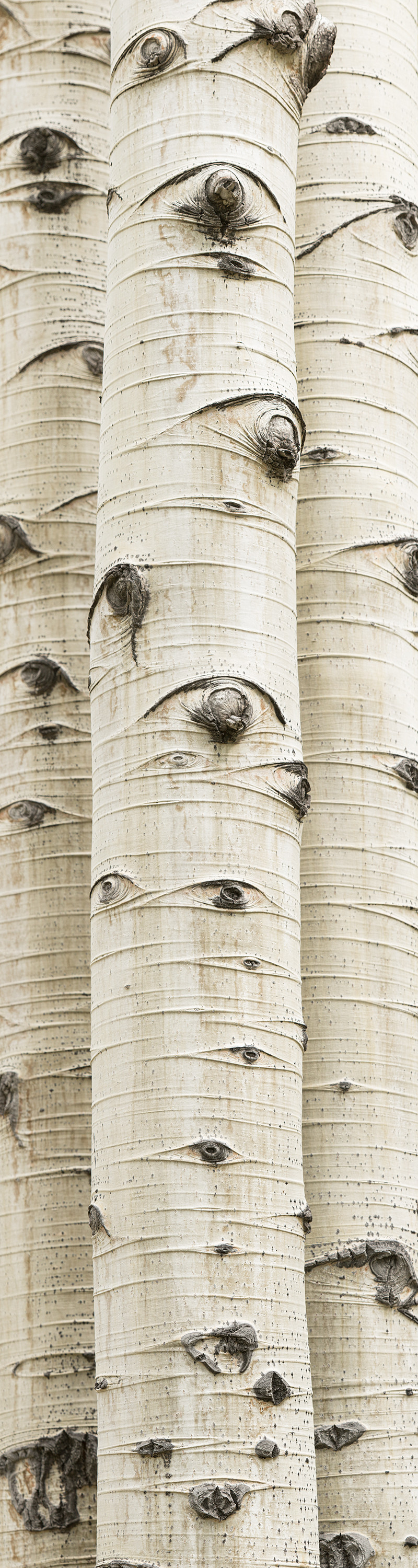 Three aspen trunks tightly positioned in this long vertical composition.