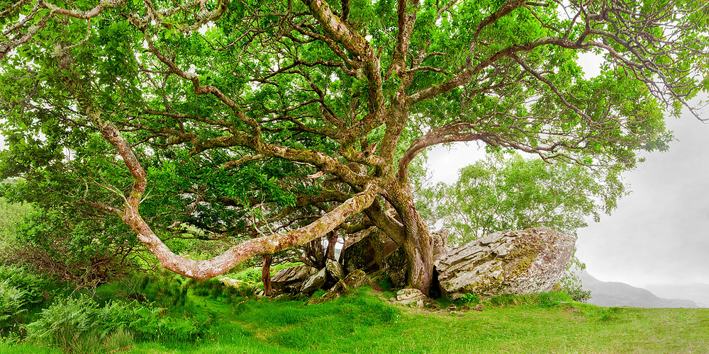 A large spring green oak tree sits atop Lady's View in Ireland.