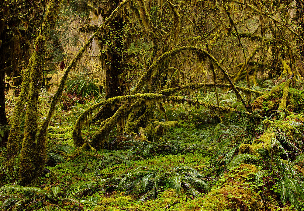 The moss covered forest of Olympic National Park in Washington.