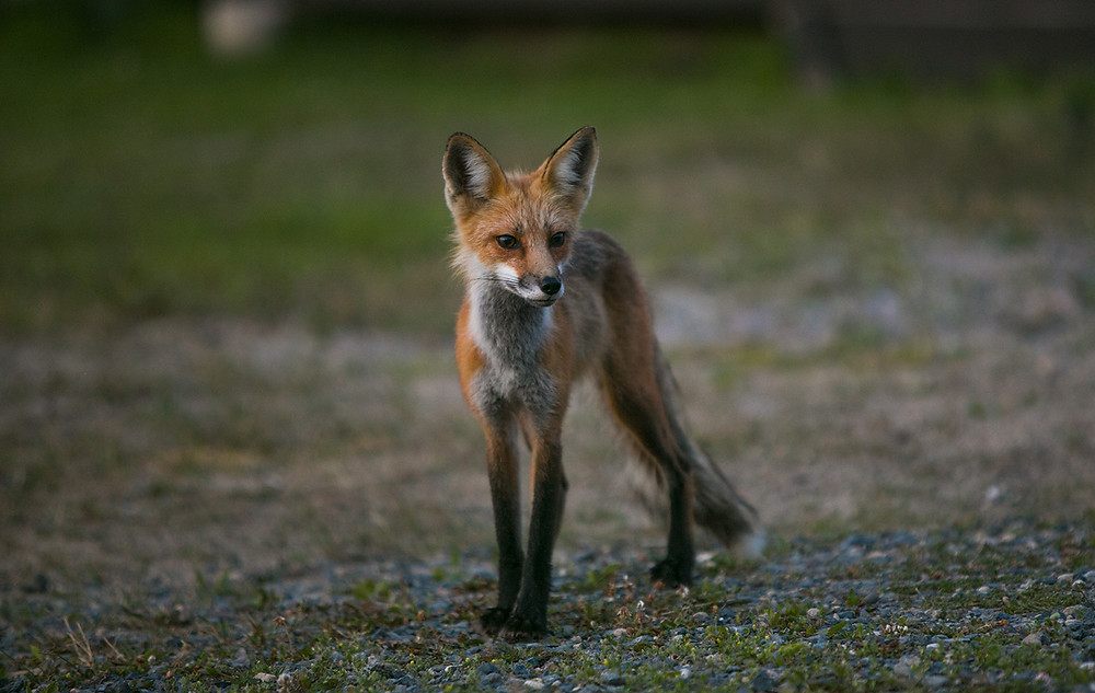 A red fox watches curiously in an open field