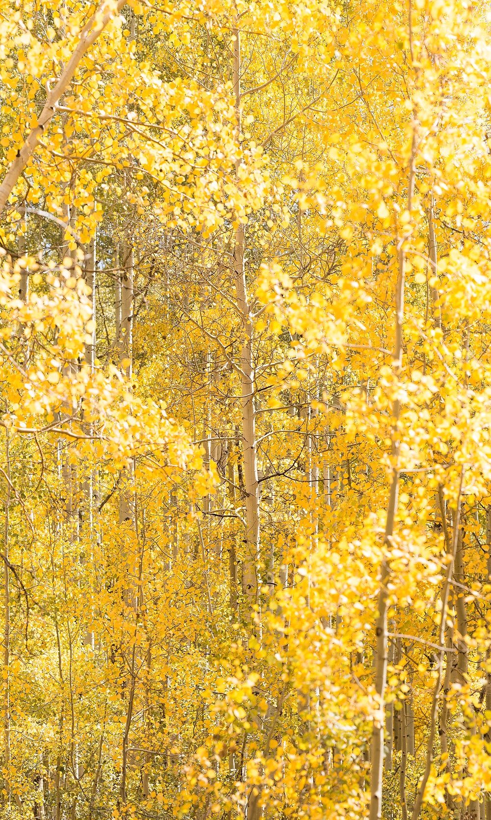 A composition of nothing but bright yellow aspen leaves in the peak of fall soaked in bright afternoon sunlight in Crested Butte, Colorado.