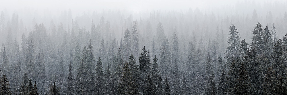 Snow falling on a forest of evergreen trees in Crested Butte, Colorado.