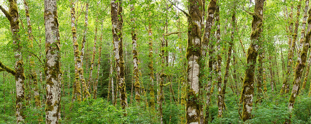 A panoramic landscape of lush Oregon forest in spring.