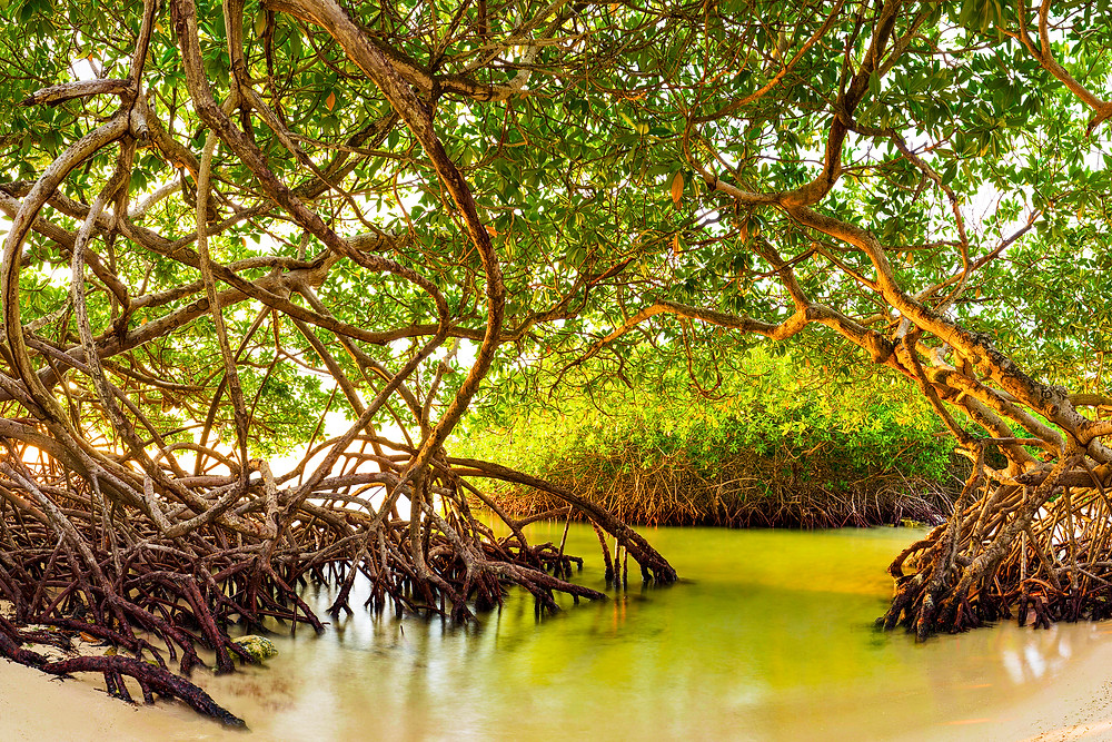 The sun sets through a grove of mangroves in a calm green lagoon along the beach in this fine art landscape from Aruba.