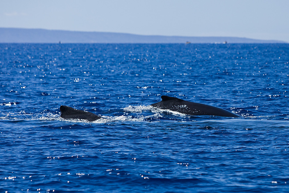A humpback whale and her calf breach off the coast of Maui.