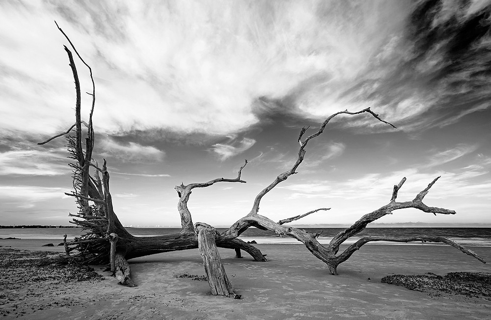 A fallen tree in black and white sinking into the sand of Driftwood Beach on Jekyll Island in Georgia.