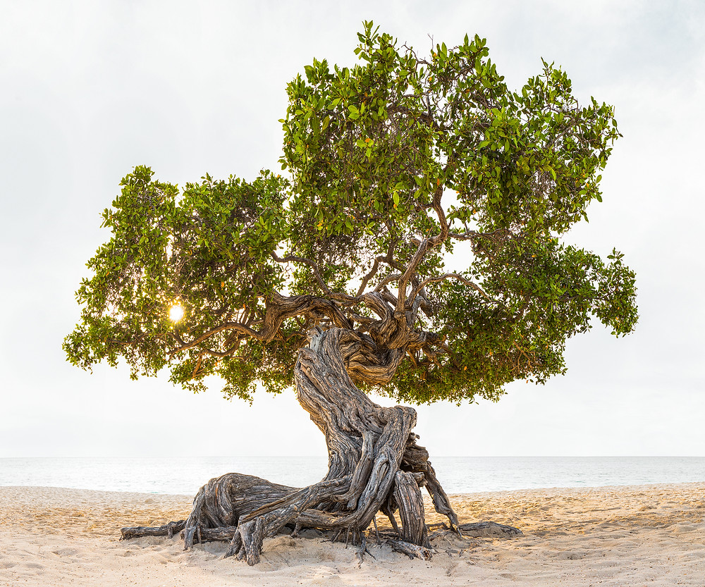 Fine art landscape photograph of a divi divi tree on a beach in Aruba overlooking the Caribbean Sea.