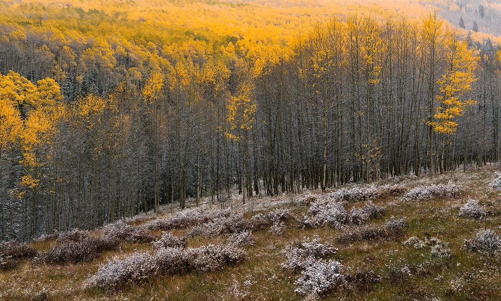 Peak fall foliage aspen trees dusted in fresh fallen snow