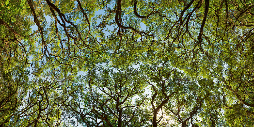 A view from below the live oak canopy of Wormsloe Plantation in Georgia.