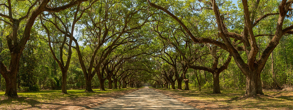 The classic view of Wormsloe Plantation in Savannah, Georgia showing the natural tree tunnel created by a dirt road with live oak trees planted on each side and spanish moss hanging from the branches.