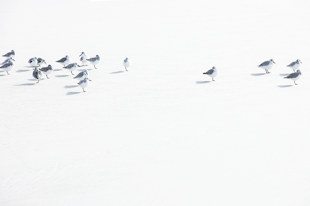 A collection of sea birds standing on the white beach in Mississippi.