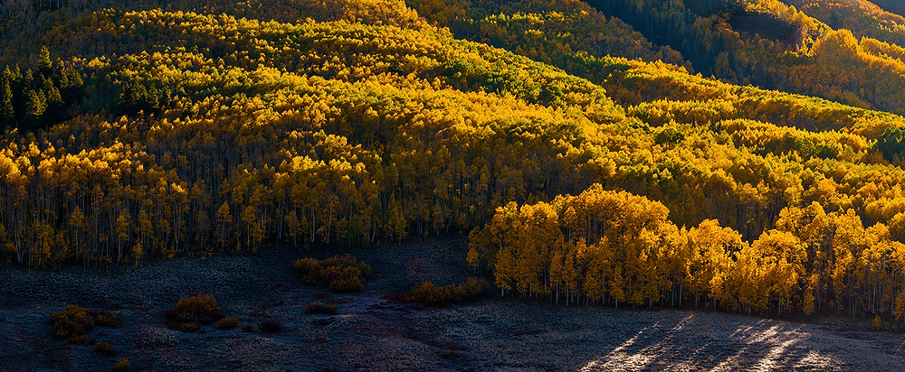 A glowing mountain of gold aspens in Crested Butte, Colorado.