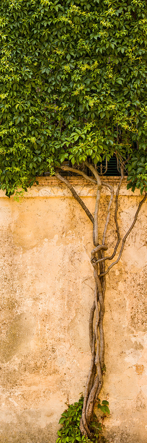 A slender tree trunk weaves up the side of a tan rustic wall in Tuscany, Italy up to a block of green leaves in this vertical composition.