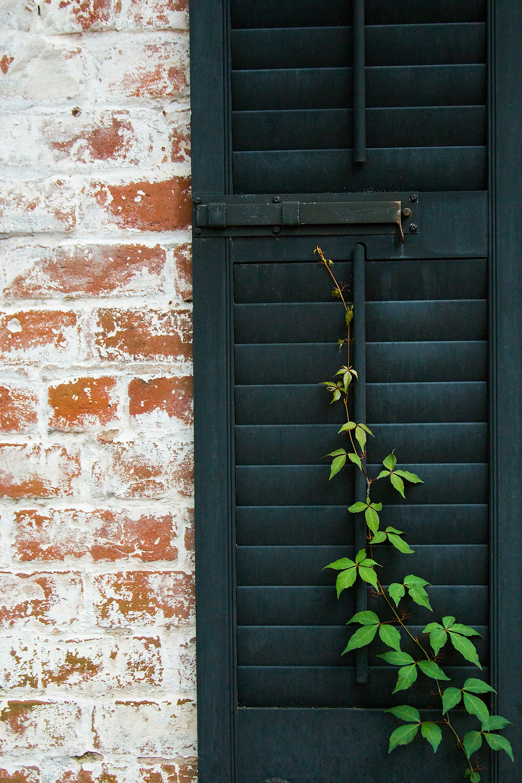 A lone vine crawls up the black shutter of a brick house in Savannah, Georgia.
