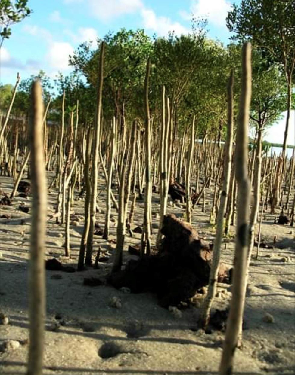 MANGROVE FORESTS 5.jpg